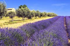 lavender and olivers in the landscape - stock photo