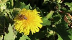 Urban Honey Bee Stock Footage