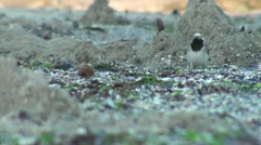 Small bird swiftly walks, moves it's head fast and looks around Stock Footage