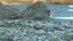 Small bird walking at shore of the sea Stock Footage