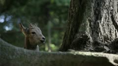 Capricorn siberian cub (Capra sibirica) Stock Footage