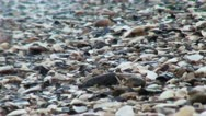 Lots of shells at the shore of  the beach Stock Footage