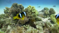 Clown Anemonefish on Coral Reef, Red sea Stock Footage