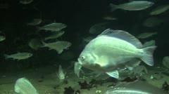 North West Pacific Ocean sea life Stock Footage