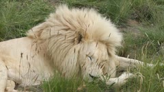 Close-up white lion resting Stock Footage