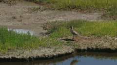 Tringa totanus - Common Redshank in coastal wetland Stock Footage