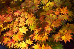 maple yellow leafs - stock photo