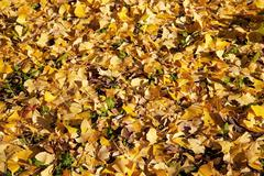 Stock Photo of ginkgo leaves
