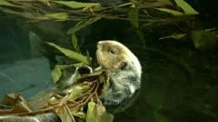 Cute Sea Otter medium close up Stock Footage
