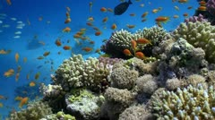 Colorful Fish on Vibrant Coral Reef, Red sea - stock footage