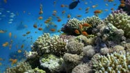 Stock Video Footage of Colorful Fish on Vibrant Coral Reef, Red sea