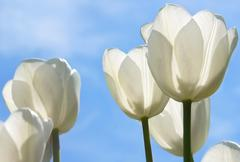 white tulips field - stock photo