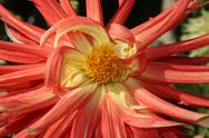 Stock Photo of dahlias bloom