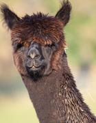 Choclate coloured female Apaca like a Llama - stock photo
