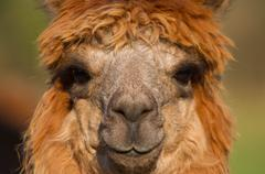 Stock Photo of Alpaca