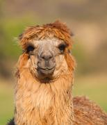 Brown female Alpaca Stock Photos