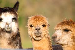 Three Alpacas Stock Photos