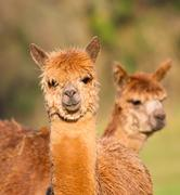 Stock Photo of Alpacas brown