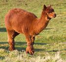 Stock Photo of Brown Alpaca Llama like animal