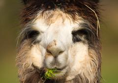 Alpaca having lunch Stock Photos