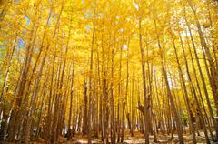 wide angle fall aspen trees - stock photo