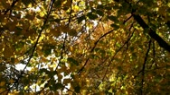 Stock Video Footage of Herbstlaub, Nature, Tree, Autumn Leaves