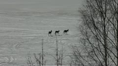 Roe deer walking on ice Stock Footage