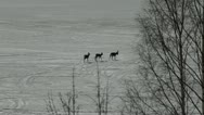 Stock Video Footage of Roe deer walking on ice