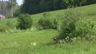 (3) Roe deer and two fawns Stock Footage