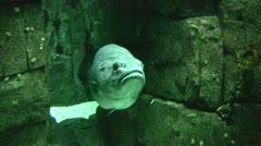 Big ugly fish - stock footage