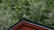 White wagtail sitting on a roof Stock Footage