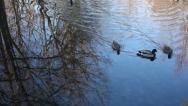 Beautiful Pond as Ducks Swim Into Frame Stock Video Stock Footage