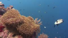 Anemone, coral reef and fish Stock Footage