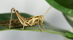 CloseUp of grasshopper Stock Footage