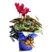Cyclamen flowers Stock Photos