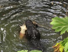 Alligator hunting Stock Photos