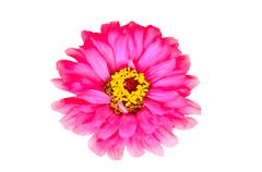 magenta zinnia flower on green background - stock photo