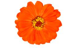 Orange zinnia flowers Stock Photos