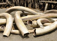 Ivory tusks Stock Photos