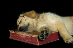 Stock Photo of Golden Retriever on book