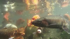 Koi Fish Under Water Shot Two Stock Footage
