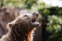 Brown bear in a funny pose Stock Photos