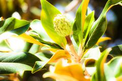 Stock Photo of magnolia tree in botanical garden in spain