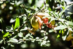 pomegranate tree in green background - stock photo