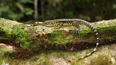 Golden Tegu (Tupinambis teguixin) on a fallen log in the rainforest, Ecuador Stock Footage