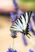 Stock Photo of swallowtail drinking sitting in lavender plant