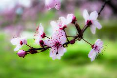 Japanese cherry blossom in spring Stock Photos