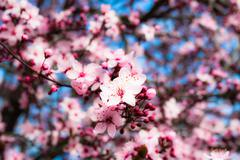 Stock Photo of japanese cherry blossom in spring