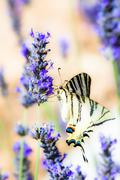 swallowtail drinking sitting in lavender plant - stock photo