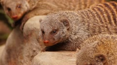 Mongoose - stock footage